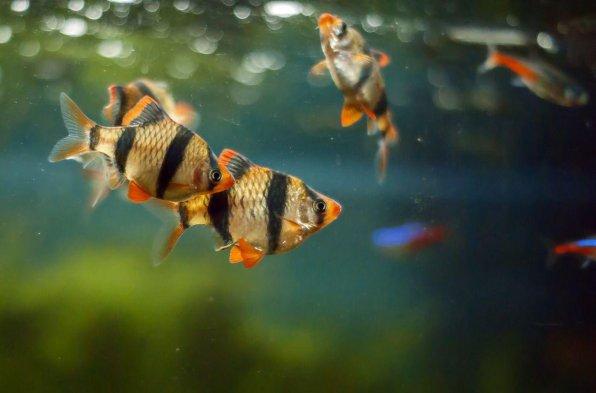Суматранский барбус - красивые, но задиристые аквариумные рыбки