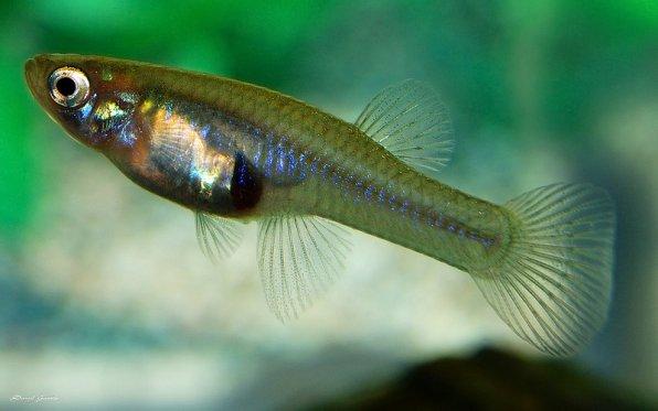 Габузия - маленькая живородящая рыбка