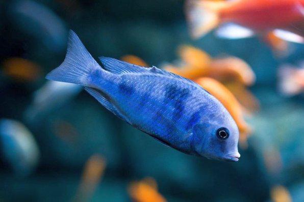 Голубой дельфин - красивая рыбка
