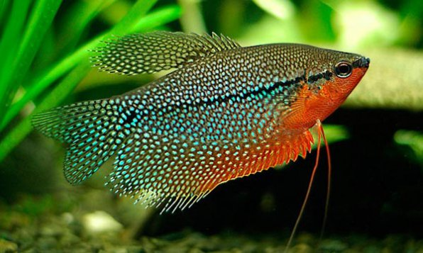Гурами жемчужный - пожалуй самый красивый из всех лабиринтовых рыбок