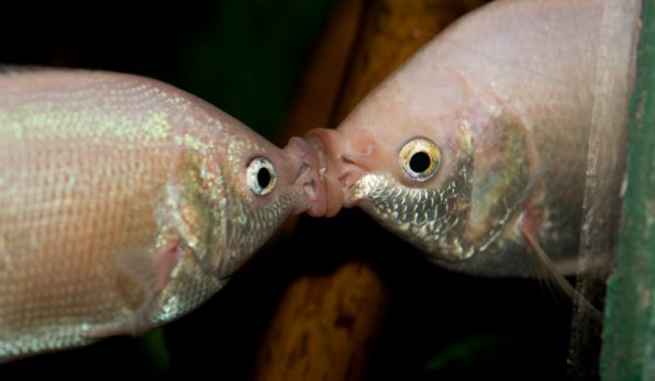 гурами целующийся фото