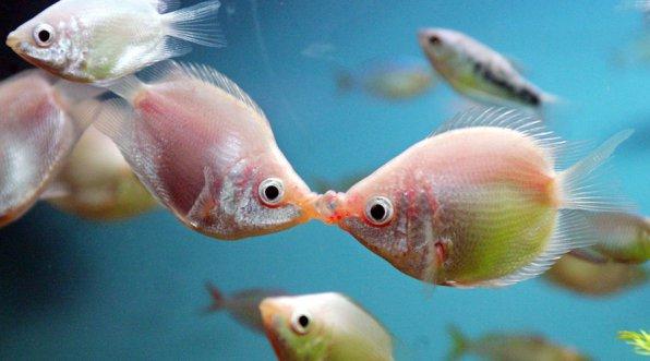 Гурами целующийся
