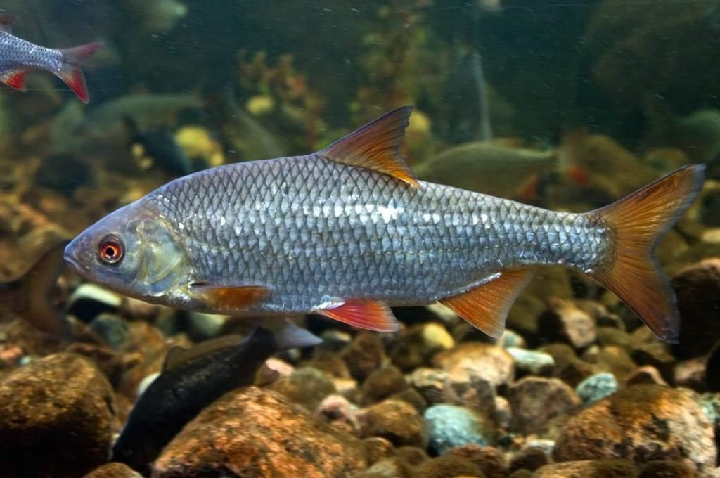 воробьёв картинки всех озерных рыб яровизации