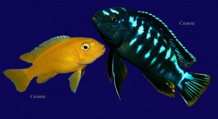 меланохромис йохана самец и самка