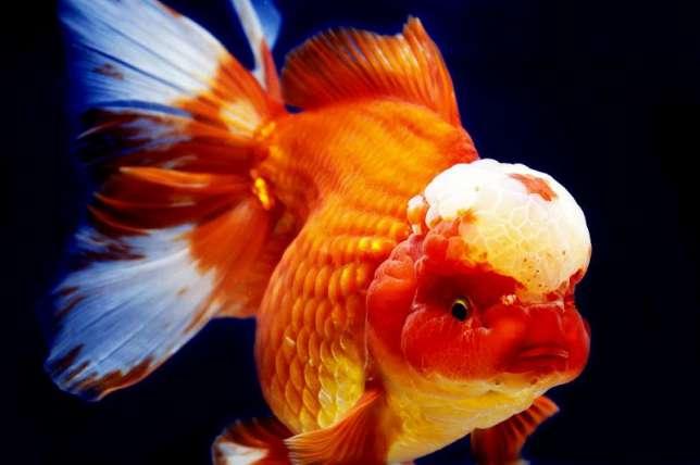 Оранда - золотая рыбка: содержание, совместимость, разведение ...