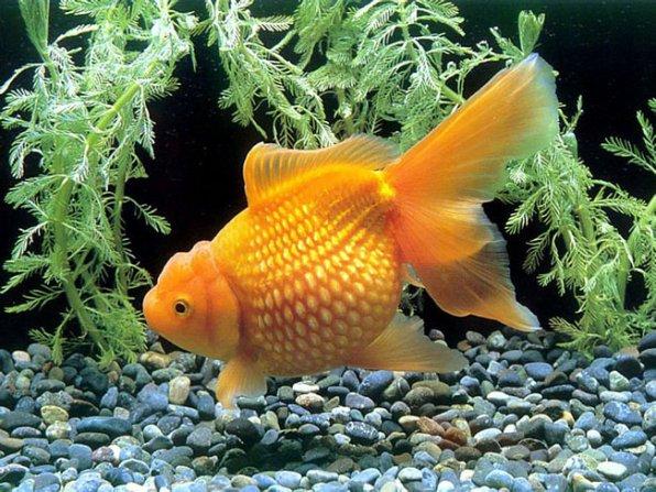 Жемчужина рыбка