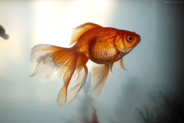 Золотые рыбки семейство