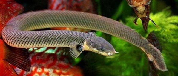 Каламоихт калабарский - аквариумная змея