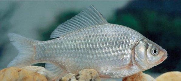 Карась серебряный - предок всех Золотых рыбок