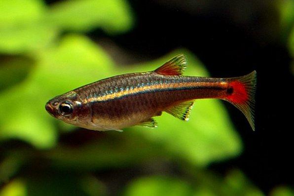 Рыбка кардинал для нано аквариума