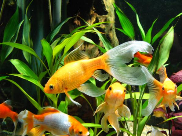 Комета вид золотой рыбки