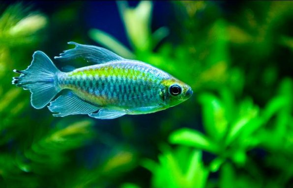 Конго рыбка на наш взгляд красивые