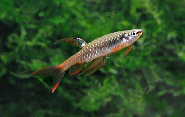 Копелла Арнольда харациновая рыбка фото