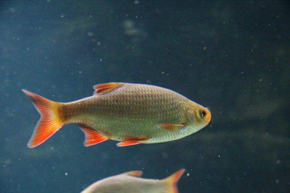 Красноперка - аквариумная рыбка