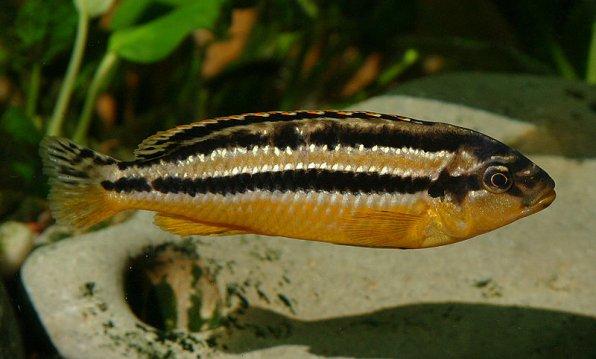 Меланохромис ауратус