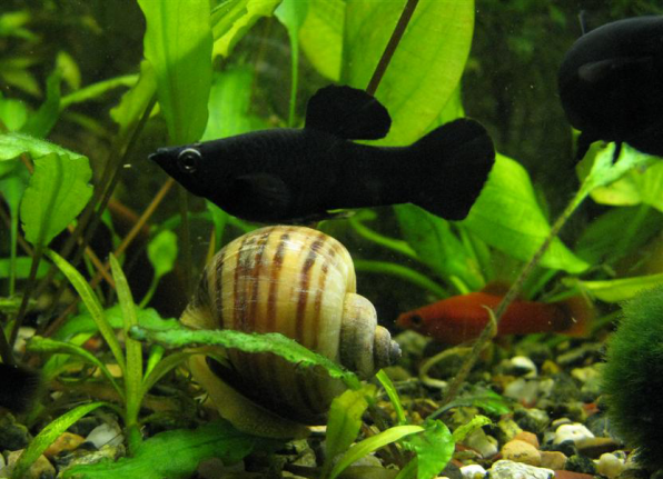 Моллинезия черная фото
