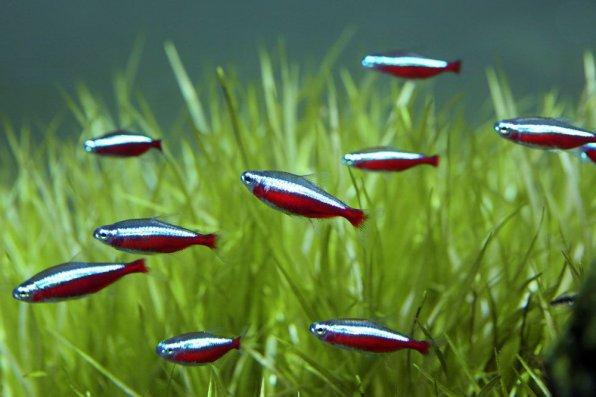Неон красный рыбка