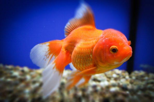 Оранда вид золотой рыбки