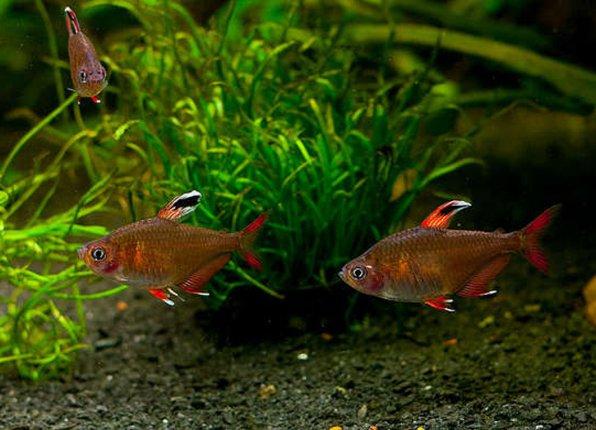 Красный фантом орантус