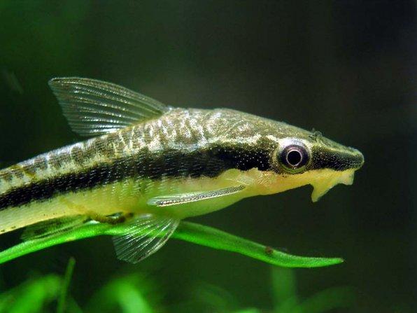 Отоцинклюс - полезный сомик для наших аквариумов