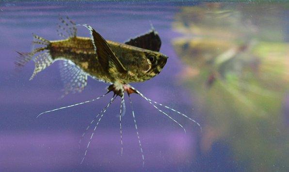 Пантодон рыбка бабочкафото