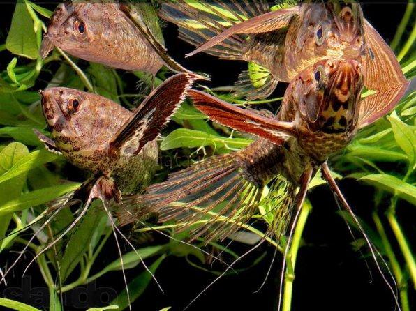 Рыбка бабочка фото