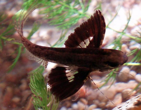 Пантодон бабочка фото
