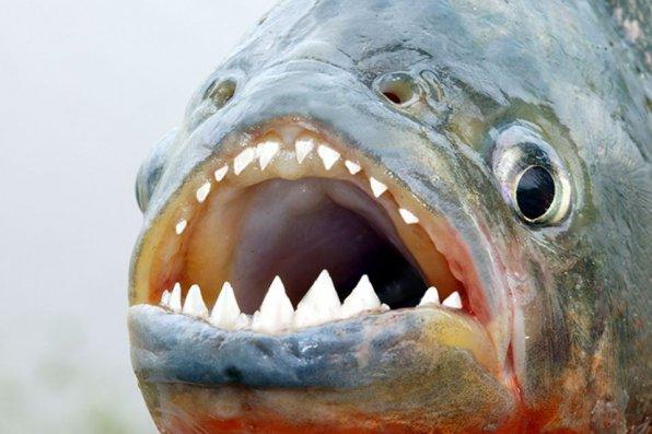 Пираньи зубы рот фото