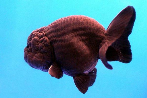 Ранчу рыбка