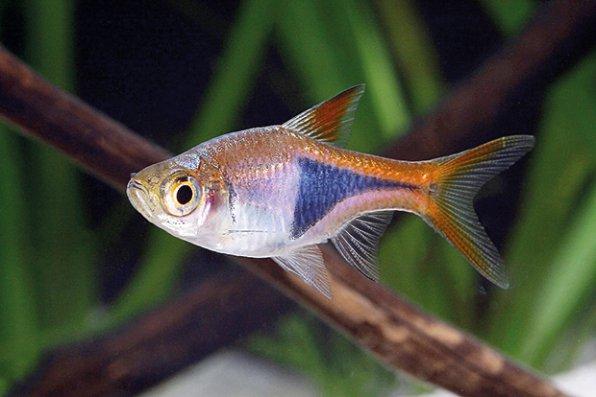 Рыбка расбора для нано аквариума