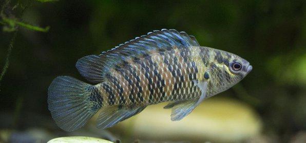 Рыба хамелеон или бадис бадис