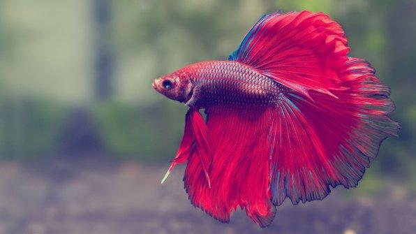 Рыбка петушок - хедлайнеры по красоте