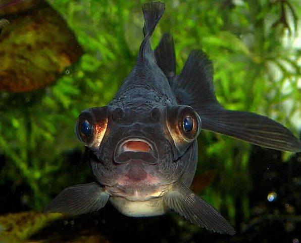 Телескоп рыбка фото