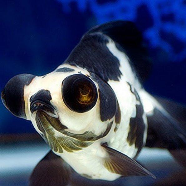 Красивая рыбка телескоп