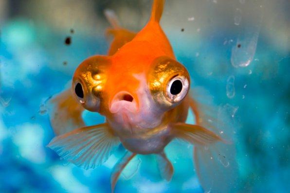 Рыбка телескоп фото