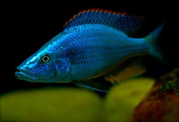 Димидиохромис компрессицепс - хищная аквариумная рыба