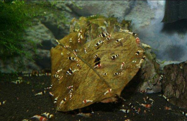 Аквариумные креветки едят листик