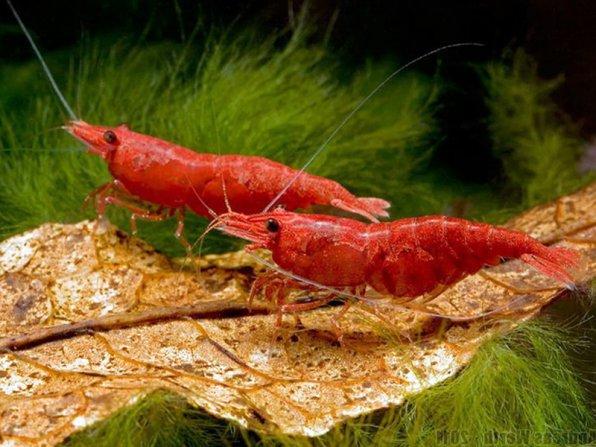 Аквариумные креветки на листике