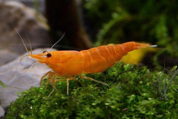 Содержание аквариумных креветок