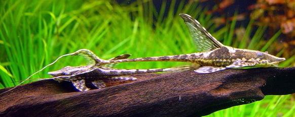 Стурисома самец и самка