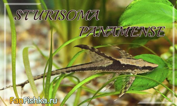 Стурисома панамская
