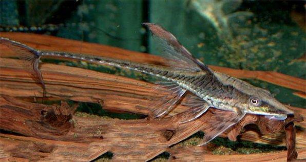 Стурисома чернорылая