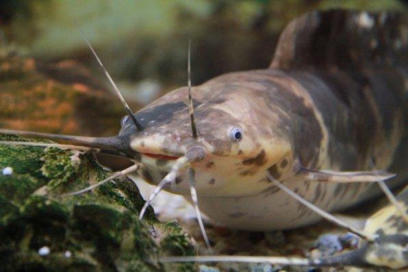 Клариус - хищная аквариумная рыба