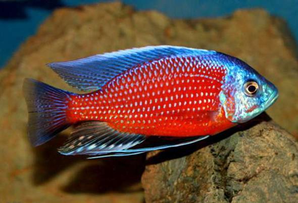 Копадихромис каданго - огненный рыбас