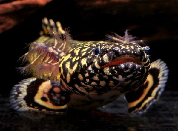 Полиптерусы - хищная аквариумная рыба