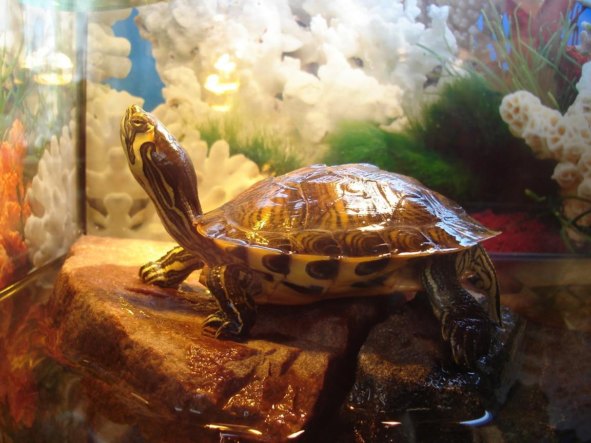 водяная черепаха в домашних условиях фото болезнью теряют волосяной