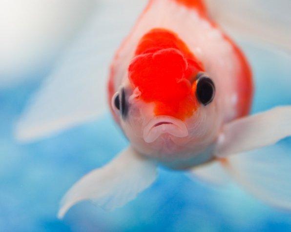 Что будет, если не отстоять аквариумную воду - газовая эмболия!