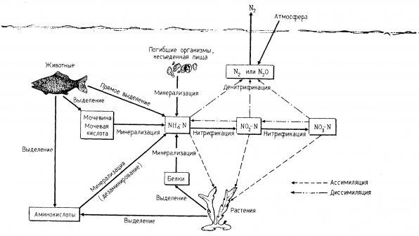 Круговорот азота в аквариумных замкнутых системах