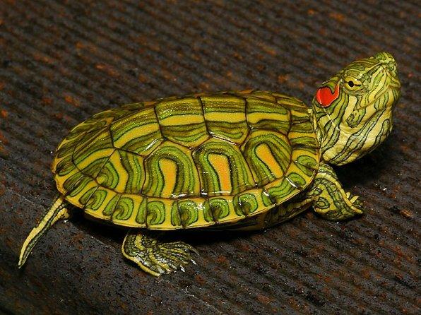 Красноухие черепаха фото