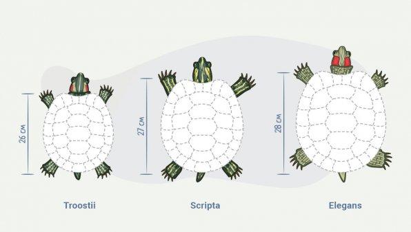 Красноухие черепахи размеры
